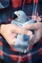 Adoption of carrier pigeon sport as cultural heritage