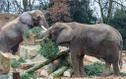 Christmas trees for elephants in the zoo