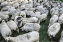 Demonstration on the precarious situation of migratory shepherds