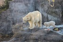 Young polar bear at Vienna Zoo