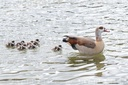 Nile goose with offspring