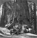The Wawona Giant Sequoia Tree