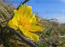Adonis florets begin to bloom
