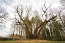 Germany's first national heritage tree