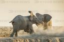 African elephants (Loxodonta africana) fight