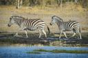 Burchell's Zebras (Equus quagga burchelli) at a waterhole