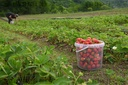 Russia Strawberry Harvest
