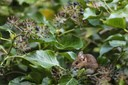 Wood mouse in nature in search of food