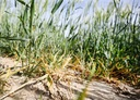 Agriculture suffers from drought