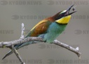 Bee-eaters enjoy the sun