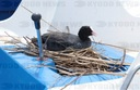 Coot nesting in water treaders