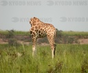 Tourits Captures Picture Illusion Showing Giraffe Seemingly Without A Head