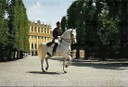 Lipizzan horses of the Spanish Riding School in the park of Schoenbrunn, Vienna: a Lipizzan horse performing a piaffe.
