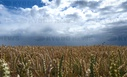 Rain clouds over a wheat field