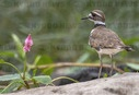 Killdeer in Oregon
