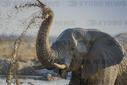African elephant (Loxodonta africana) splashing mud at a waterhole