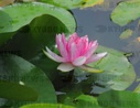 Water lilies bloom in Beijing's Lotus Pond Park