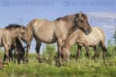 Herd of Wild Konik or Polish primitive horse on Ermakov island