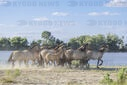 Herd of Wild Konik or Polish primitive horse riding against the background of the Danube river