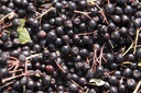 Start of harvest Aronia berry