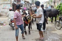 Pakistan: Youngsters carrying their sacrificial animal