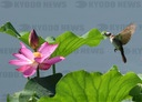Fangshan, Beijing: Lotus flowers bloom and birds fly in the middle of summer at the Beijing Country Wetland Park