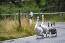 Swan family waddles over district road to the pond