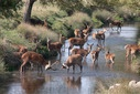 Deer Cool Off in a Brook in Richmond Park