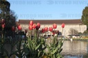 Red tulips blossom during winter in front of Ueno Park Fountain