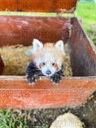 Cute Red Panda Cub Makes Appearance At Zoo