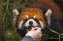 Red Panda Cubs at Woodland Park Zoo