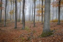 Autumnal beech forest in fog