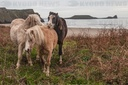 Playful Welsh Mountain Ponies